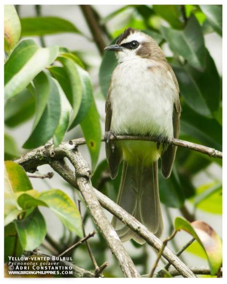 Try to keep your eyes out for Yellow-vented Bulbuls in your garden. Photo by Adri Constantino.