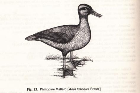 Rabor's Philippine Birds and Mammals (1977): Philippine Duck